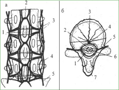 Венозная система позвоночника