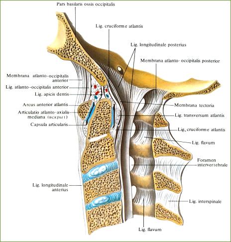 сустав соединяет позвонки между собой