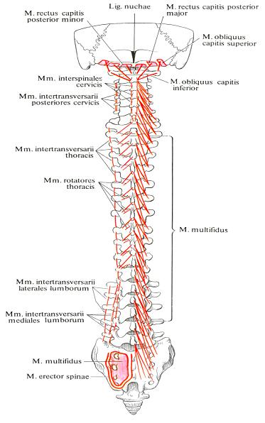 Межостистые и межпоперечные мышцы