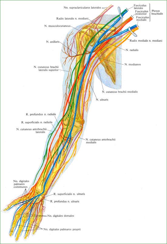 Нерв мышечно-кожный